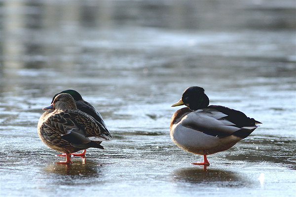 Birds on Ice